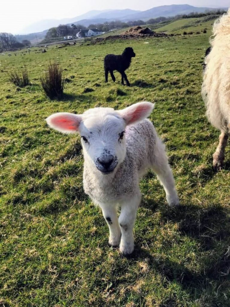 Lambs are a common occurrence for Duncan at home